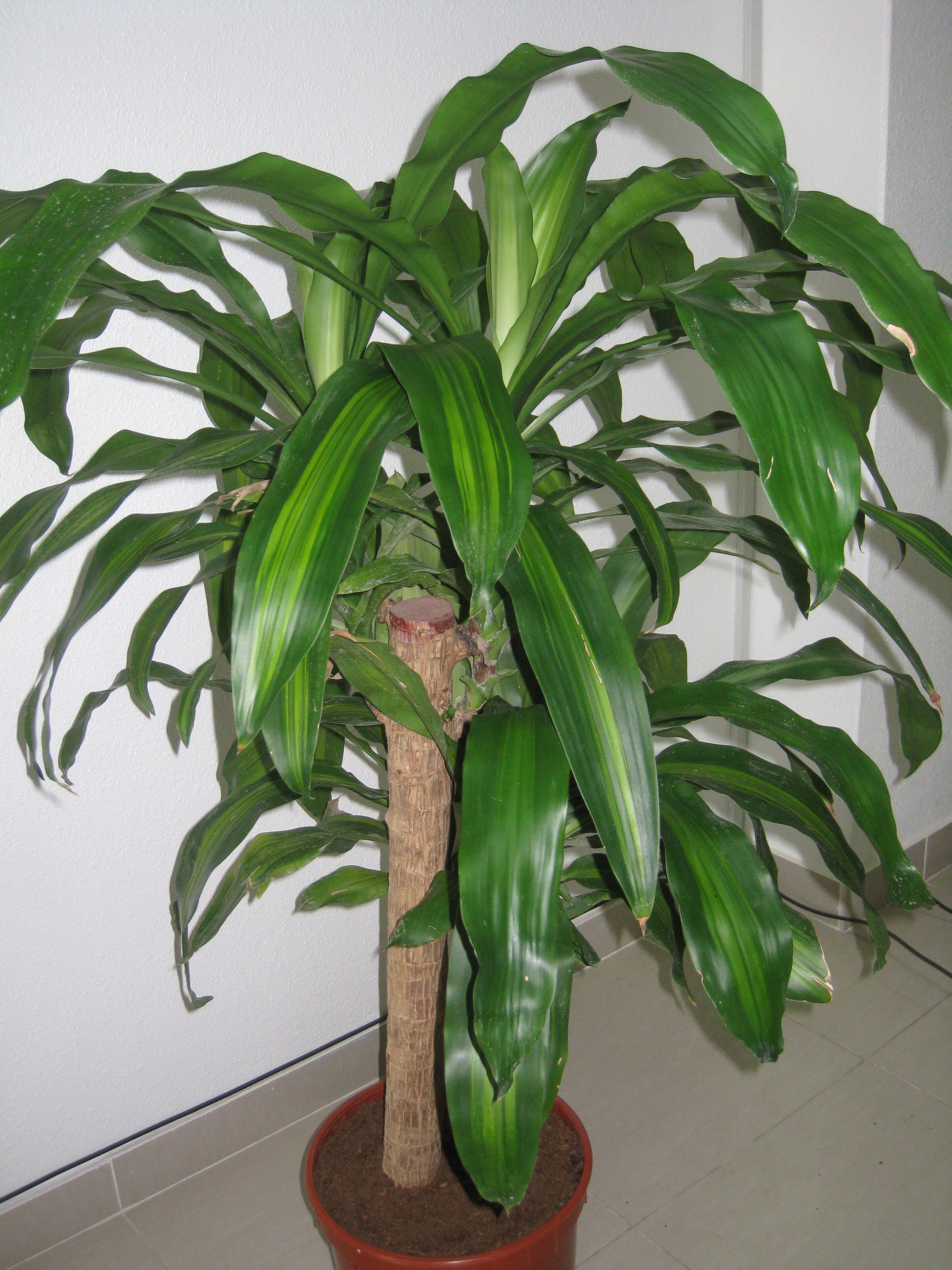 Houseplants how to prune an overgrown and now flowering for Plante dracaena